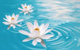 Flower in Water Wallpaper Area ~ Wallpaper Area | HD Wallpapers 109