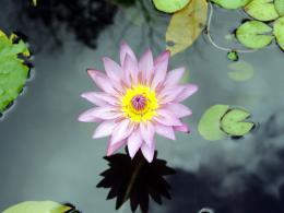 Water flower wallpapers | Water flower stock photos 398