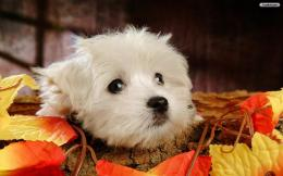 YouWallWhite Puppy Wallpaperwallpaper,wallpapers,free wallpaper 1786