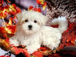 White Puppy Wallpaper, wallpaper, White Puppy Wallpaper hd wallpaper 1270