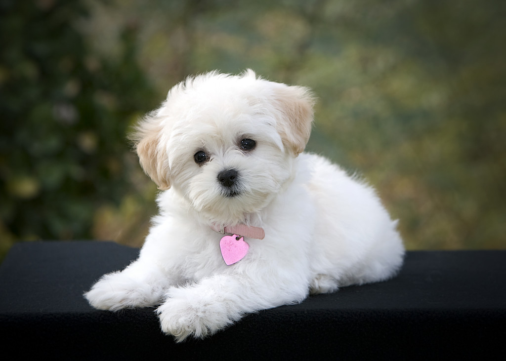 12 White Dog Breeds Hd Wallpaper Animals Wallpapers 884 White Puppy Chilling Wallpaper