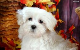 Cute White Dog Wallpaperwallpaper,wallpapers,free wallpaper 1472