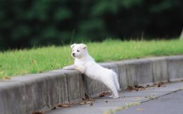 White puppy wallpaper #6650 288