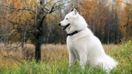 White Dog Desktop WallpaperHD Wallpapers9to5Wallpapers 1570