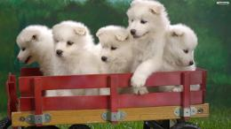 White Puppies Wallpaperwallpaper,wallpapers,free wallpaper 665