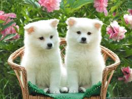 wallpapers animals birds backgrounds white puppies white puppies 1630