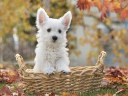 White terrier dog wallpaper 1024x768 553