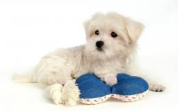 Puppy DogsWhite Maltese Puppies wallpapers 1440*900 NO 33 Wallpaper 1543