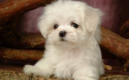 Puppy DogsWhite Maltese Puppies wallpapers 1280*800 NO 12 Wallpaper 1063