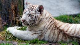 Chilling White Tiger Cub | 1920 x 1080 | Download | Close 162