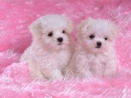 Two White Puppies Wallpaper Photos #1397 Wallpaper | WallpapersTube 1894
