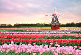 Windmill Dutch Bulb Fields Free Wallpaper downloadDownload Free 813