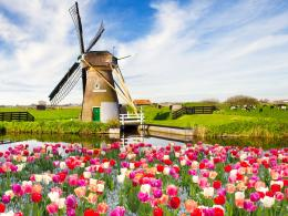 Wallpaper, tulips, spring, fields, windmill | HD Wallpapers Photo 1907