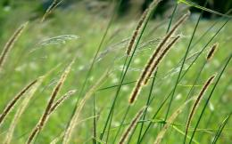 Grass in the wind wallpaper #1276 1115