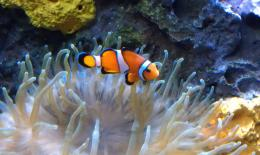 16:25, 27 February 2013 Clown Fish at Audubon Aquarium of the Americas 917