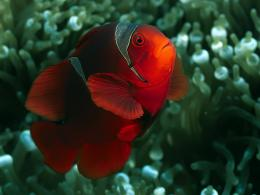 Clown fish Wallpapers | Fun Animals Wiki, Videos, Pictures, Stories 484