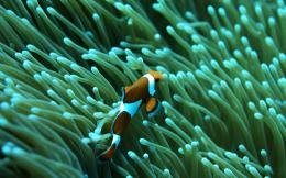 on October 8, 2015 By Stephen Comments Off on Clown Fish Wallpapers 180