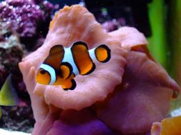 Clown Fish Free Wallpapers For DesktopFish, Wallpapers, For, Clown 1801