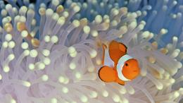 Clown Fish Wallpaper 1801