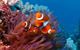 Clown Fish Image #6954155 331