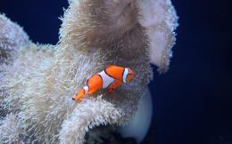 Seattle Aquarium Clownfish Wallpaper | gildedpixel com 1805