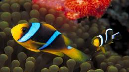 clown fish styleFish Wallpaper 1734