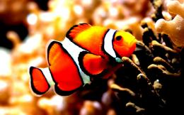Clown Fish Marine Fishes Corals AquariumHD Wallpaper #71594 472