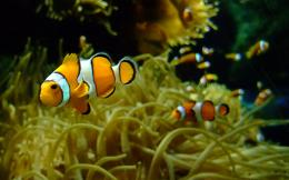 Clown Fish Wallpaper | Amazing Wallpapers 1015