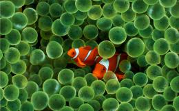 Download Fish Wallpapers wallpaper, \'apple clown fish wallpaper\' 1799