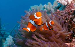 Wallpaper of two clown fish on the ocean floor | HD animals wallpapers 1086