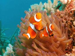 Wallpapers For Download Clown FishFish, Wallpapers, Clownfish, Clown 1819