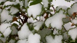 Winter wallpaper with a plant in my back yard covered with snow 1644