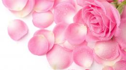 Flowers & Rose Petals Wallpapers HD Pictures | One HD Wallpaper 1888
