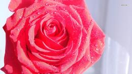 Beautiful red rose with water drops on its petals wallpaperFlower 887