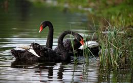 Black Swans On The Lake 388