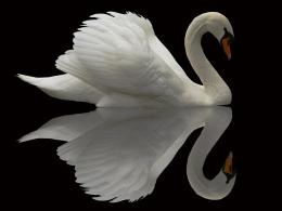 White Swan looking at its own Reflection, the lake is black like a 1577