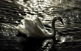 Cool White Swan HD WallpaperSwan Birds HD Wallpapers 1661