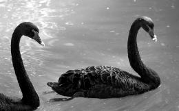 Black Swans Animals Wallpaper 1440x900Fondo hd #838 1991