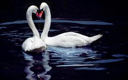Swans Blackwater Wallpaper photo and wallpaperAll Swans Blackwater 1657