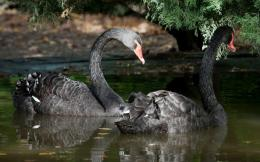 Black swans wallpaper 949