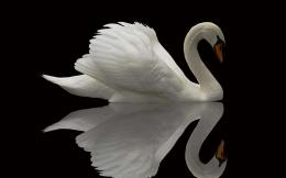 Swans are the largest, most beautiful waterfowlSome species were 588