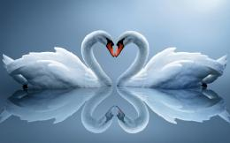 Swan Love Photos,HD Wallpapers,Images,Pictures 979