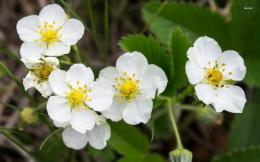 Wild strawberry blossoms wallpaperFlower wallpapers#2322 293