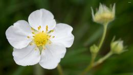 Wild strawberry flower wallpaperFlower wallpapers#2321 182