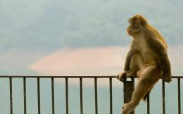 Monkey sitting on a fence wallpapers and imageswallpapers, pictures 534