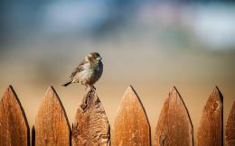 Sparrow sitting on a wooden fence | HD Animals Wallpapers 1600