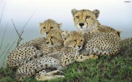 Cheetah Family Wallpaperwallpaper,wallpapers,free wallpaper 567