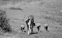 Cheetah Family Mother Toddlers Trio SpotHD Wallpaper #397088 1180