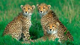 cheetah family wallpaper 557ecfca380ea jpg 262