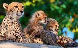Cheetah Family Wallpapers1920x12001096497 700